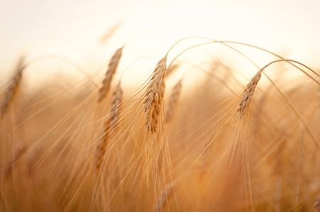 Prachtige natuur zonsondergang landschap. Oren van gouden tarwe close-up. Landelijke scène onder zonlicht. De zomerachtergrond van rijpende oren van landbouwlandschap. Groei oogst. Tarweveld natuurlijk product Stockfoto