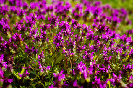 mauve: Wild thyme Thymus serpyllum . A dense group of purple flowers of this aromatic herb in the family Lamiaceae