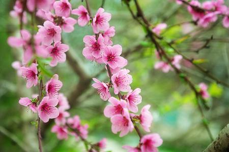 Mooie perzikbloemen close-up - als achtergrond