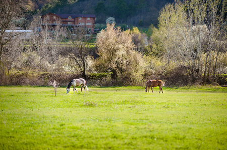 horseflesh: Countryside landscape with horses in farm field in early spring.