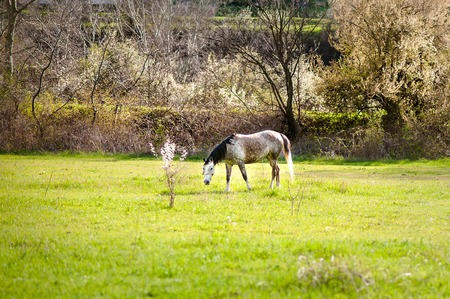 horseflesh: Beautiful white horse with long blond mane in spring field Stock Photo