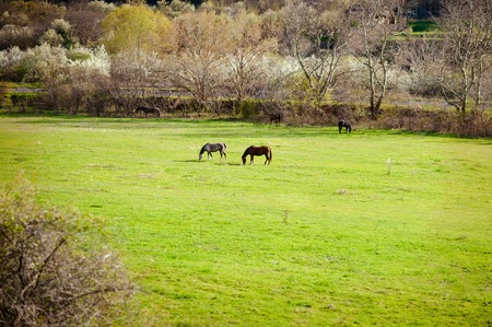 horseflesh: Countryside landscape with two horses in farm field in early spring.
