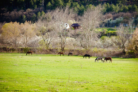 Spring . Horses on pasture. Village
