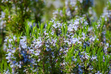 Rosemary blossom, selective focus on flowers, purposely blurred Stock Photo