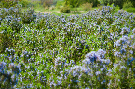 Field of beautiful Rosemary in full bloom