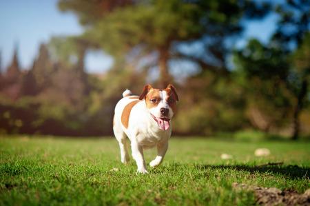 Jack Russell Terrier running on green grass