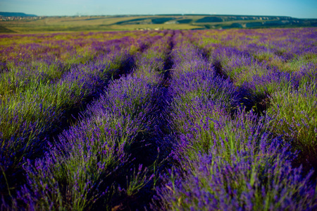 lavender flowers - Sunset over a summer purple lavender field . Bunch of scented flowers in the lavanda fields Stock Photo