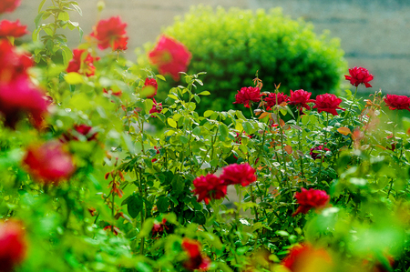 Bush of beautiful pink roses in a garden. Stock Photo
