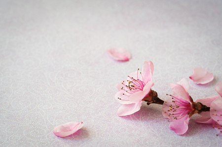 Twig of flowers peach tree on a pink background with space for text. Top view, flat lay