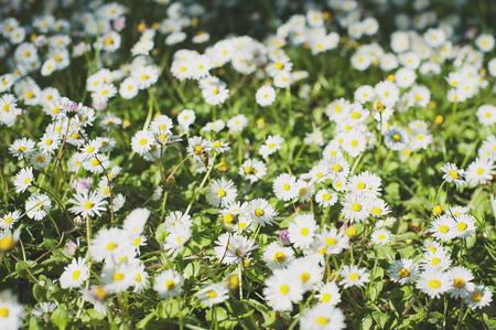 Daisy flower background. Beautiful meadow. Summer background