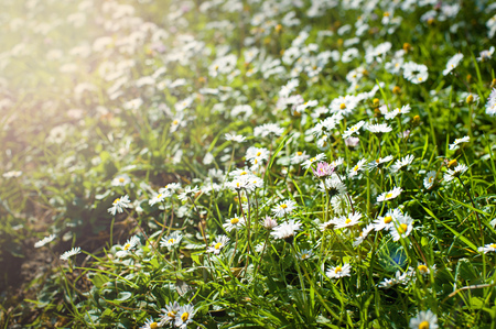 Beautiful chamomile flowers in field on sunny day, closeup