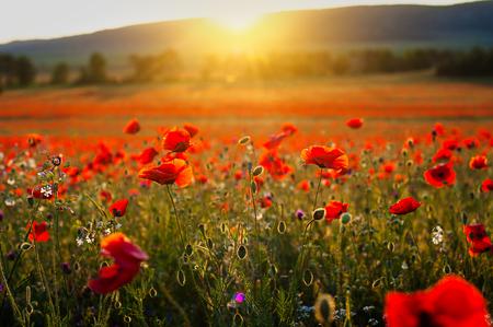 Beautiful image poppy fields in Italy Summer sunset.