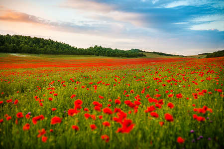 field of red poppies over sunser sky. Beautiful image of field of red poppies over summer sunset landscape. poppies flower field, image for natural background.