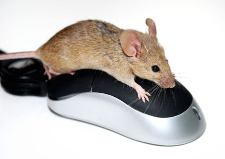Mouse on a computer mouse photo