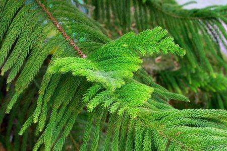 Araucaria Branches  Stock Photo - 4915232