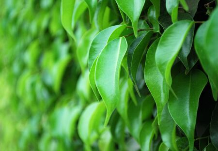 rubber plant: Green fence from rubber plant trees