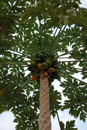 Fruit of the Hawaiian papaya against the sky photo