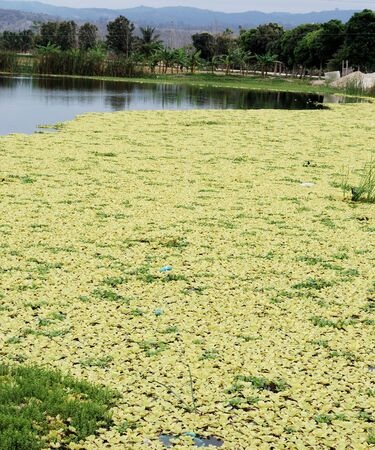 Yellow duckweed on picturesque lake  photo