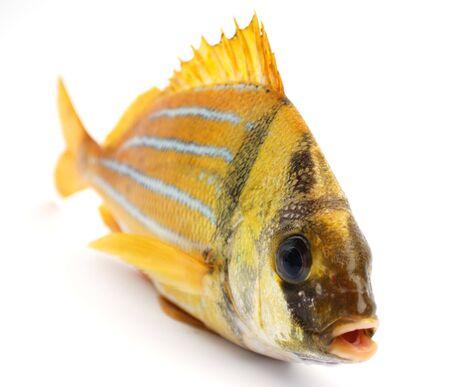 Gold fresh fish on a white background photo