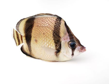 big clown fish: Tropical fresh fish on white background Stock Photo