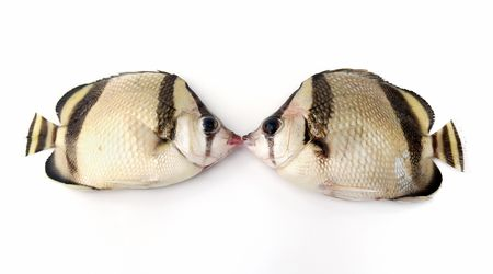 big clown fish: Kiss of two fishes on white background