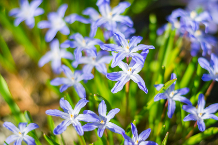 Blue spring flowers in the green grass closeup. Glory of the snow or Scilla luciliae blue flowers in garden blooming with shallow depth of field. Group of chionodoxa luciliae with floral background. Stock Photo