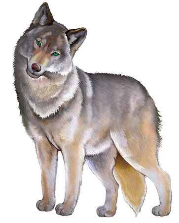 Illustration of cute standing gray wolf on the white background. Illustration drawing on computer by graphic tablet. Stock Photo