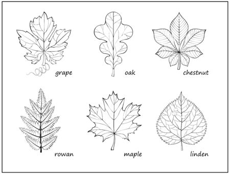 Set of black and white illustrations with different leaves for coloring book. Worksheet for children and adults. Print of herbarium for kids school textbook. Hand-drawn vector. Page for encyclopedia.