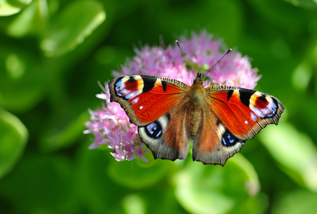 European Peacock (Inachis-io) butterfly on a pink flower photo