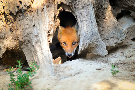 animal den: Young Red Fox Hiding in Tree Stump Den Stock Photo