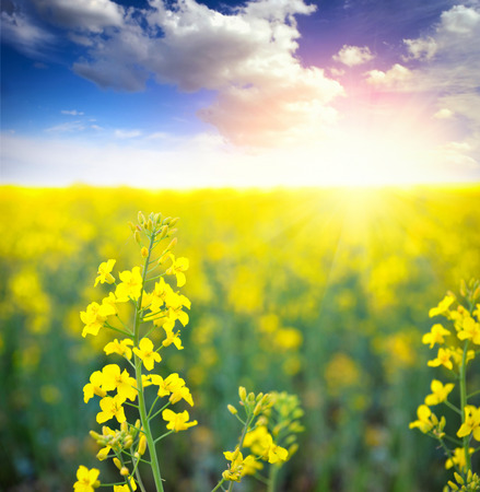 rapaseed: Field of rapeseed with beautiful clouds - plant for green energy