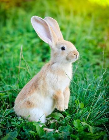 rabbit standing: Little rabbit standing on hind legs in the grass