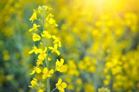 brassica: Close-up of canola or rapeseed blossom (Brassica napus)