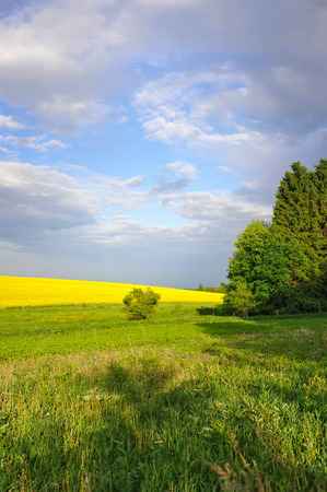 coleseed: Countryside landscape with yellow rapeseed field