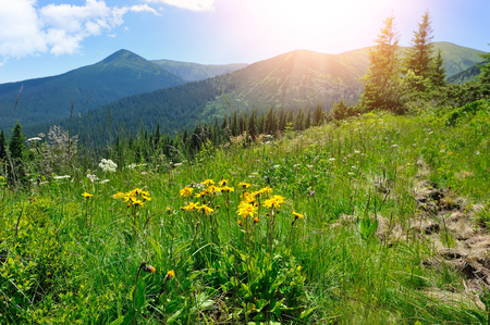 Arnica flowers (Arnica montana) on a background of mountains and blue sky Stock Photo