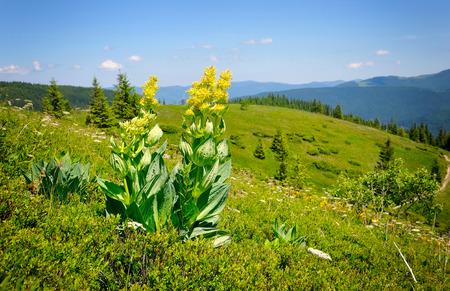 Gentiaan (Gentiana lutea) op een achtergrond van bergen en de blauwe hemel