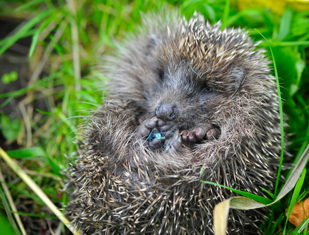 Western European Hedgehog (Erinaceus) curled up into a ball photo
