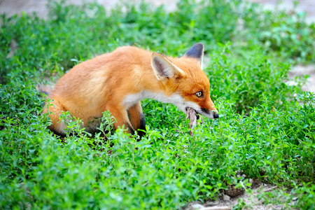 booty: Red Fox Cub with a booty