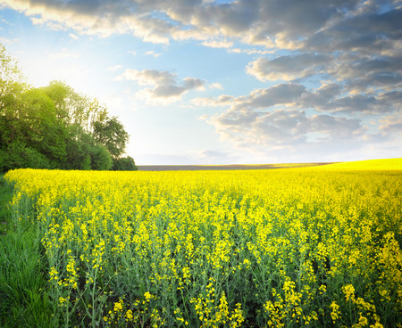 field flower: Field of rapeseed with beautiful clouds - plant for green energy