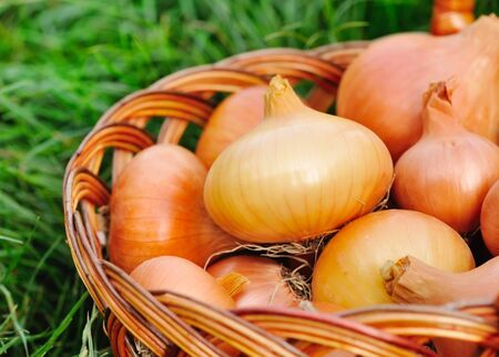 harvests: Fresh onions in basket on grass Stock Photo
