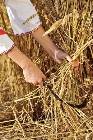 sickle: Woman reaps wheat with a sickle. Close-up Stock Photo
