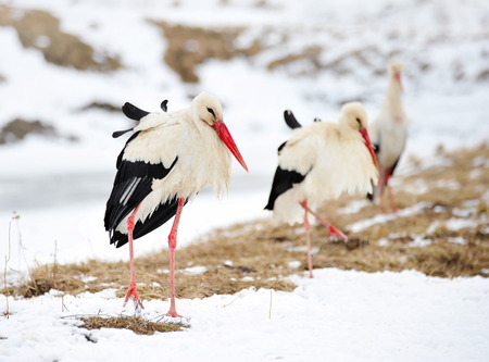 migrate: Beautiful storks at the park outdoors