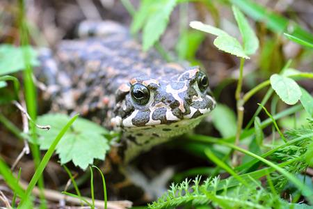 viridis: Green frog (Bufo viridis) on a green grass Stock Photo