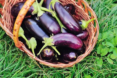 Fresh eggplant in basket on grass
