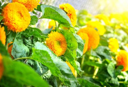 sunbeams: Decorative sunflowers are in sunbeams