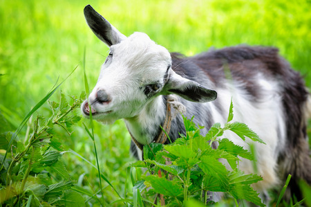 Cabra en un pasto Foto de archivo - 43053141