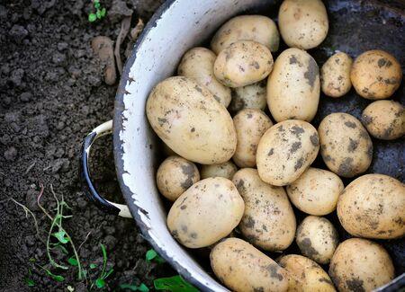 potato field: First harvest of organically grown new potatoes