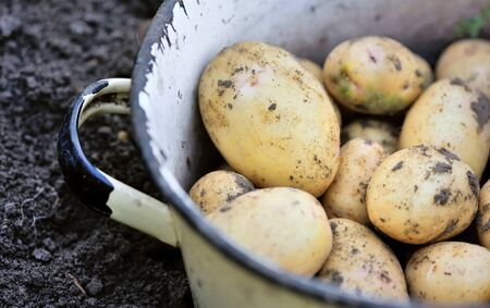 organically: First harvest of organically grown new potatoes