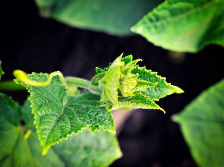 cuke: Cucumber plants growing on a bed Stock Photo