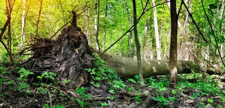 tearing down: Fallen tree after hurricane Stock Photo